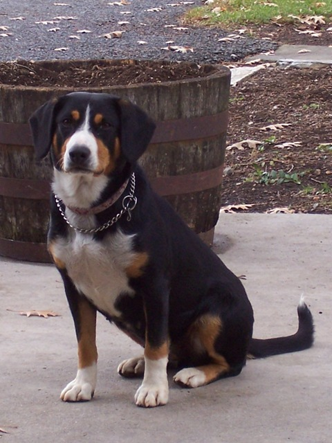 Greater Swiss Mountain Entlebucher Puppies For Sale In